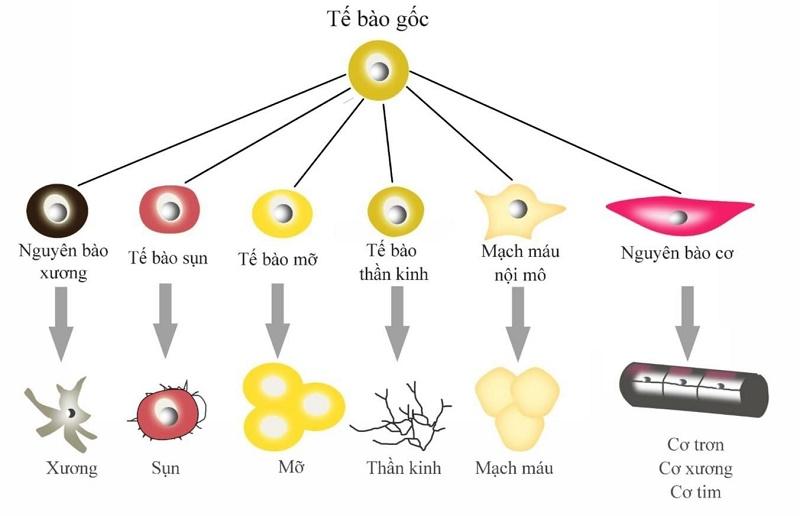 Tác dụng của tế bào gốc